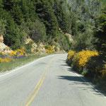 entlang der Strasse gelb leuchtende Ginster und Lupinen