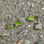 fleissige Ameisen auf dem Spazierweg