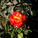 bekannt für seine Rosenzüchtungen