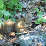 fast wie unsere Eichhörnchen