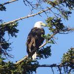 scharf beobachtet von einem Sea Adler