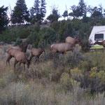 eine ganze Herde Elk's auf dem Campground