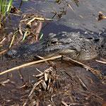 ein Alligator kommt immer näher