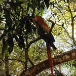 und immer wieder mal ein Papagei in den Bäumen