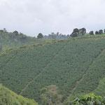 Kaffeeplantage (oft auch mit Bananen zusammen gepflanzt)