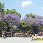 und immer wieder violett blühende Bäume