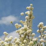 blühender Schneeballbusch