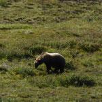 der erste Grizzly Bär