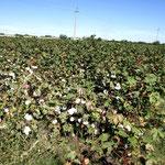 Baumwollfeld kurz vor der Ernte