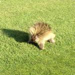 Stachelschwein auf dem Golfplatz