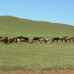 Pferdeherde ion der mongolischen Steppe