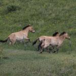 freilebende Wildpferde