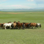 Oft stehen die Pferde zusammen, um sich gegen die Insekten zu schützen