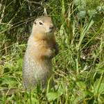 ein Arctic Ground Squirrel