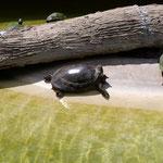und doch noch ein Schildkrötenfoto - im Indianerdorf