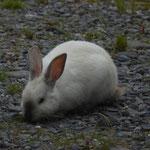 In Valdez laufen viele Kaninchen frei hrum