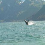 und schon sichten wir die ersten Wale