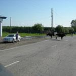 im Dorf - wer hat hier Vortritt? Tier, Velo oder Auto ?