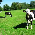 Les vaches dans les prés de Rarécourt