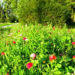 Les fleurs des campagnes meusiennes