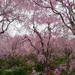 百花繚乱の桜