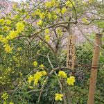 枝垂れ黄梅