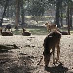 The deer in Nara are wild. But at Kasuga Taisha, it 's a messenger of God.