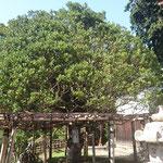 武将、片桐且元の植樹した「もちの木」