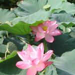 蓮花は9月中ごろまで楽しめます。