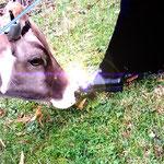 Sogar die Kühe wissen was sich gehört...