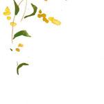 せいたかあわだちそう watercolor,paper  25.7×18.2cm