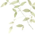 南天の葉 watercolor,paper