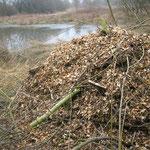 Im Henkenmoor haben wir noch im Februar aus Holzschnitzel und Reisig zwei Haufen angelegt. Hier sollen sich in den von der Sonne aufgewärmten Hügeln Ringelnatter und Co. ansiedeln