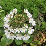mehrblütige Blüte