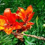 Feuerlilie - Mann, ist die schön!