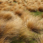 Red Tussock Gras