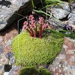 Spinnweb Hauswurz, Sempervivum arachnoideum