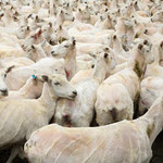 Schafe nach der Schur