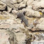 kämpfende Robben beim Katiki Point