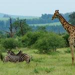 Triologie von Zebra, Giraffe und Vogel