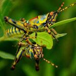 Spiegelbild einer Heuschrecke