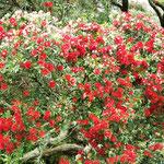 Pohutukawa in prächtiger Blüte - er wird auch Neuseeländischer Weihnachtsbaum genannt