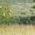 Webervogel hängt am Nest
