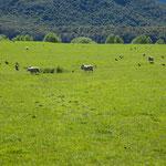Schafe weiden bei Glenorchy
