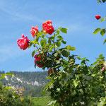 Rosen am Rosengarten