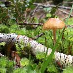 ein Pilz im Wald bei der Mac Kenzie Hütte