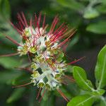 Pohutukawa Blüte
