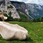 ein Rindviech blickt vom Rindsboden ins Tal