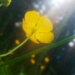 Die Sumpfdotterblume (Caltha palustris) ist eine Pflanzenart aus der Familie der Hahnenfußgewächse (Ranunculaceae)