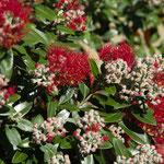 Pohutukawa Blüten im Park von Rotorua
